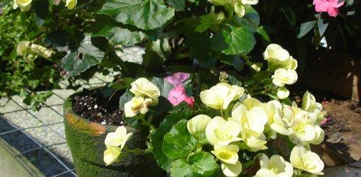 Tuberous Begonia blooming.