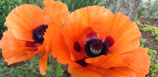 Two orange poppy flowers with dark centers.