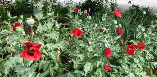 Red poppy flowers growing in garden.