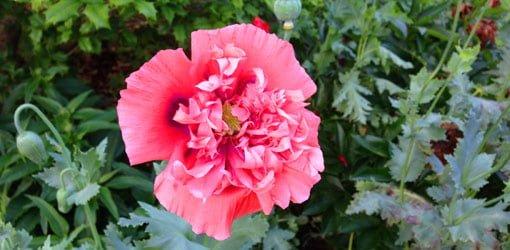 Pink oriental poppy flower.