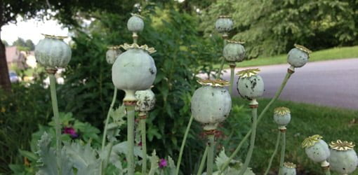 Poppy seed heads in garden.
