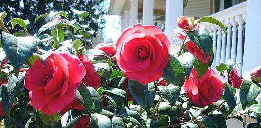 Camellia bush blooming.