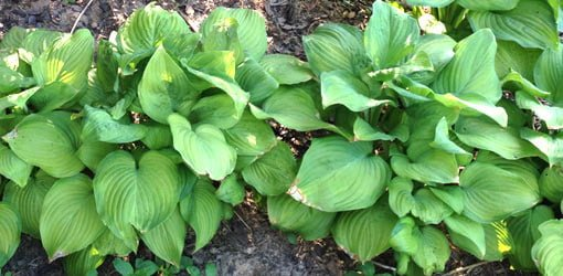 Four Easy To Grow Shade Loving Alternatives To Hostas Today S