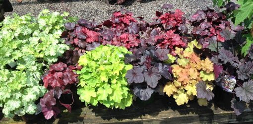 Multi-colored coral bell plants growing in garden.