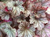 White and green coral bell foliage tinged with red.