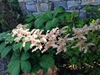Rodgersia plants with white blooms growing along stone wall.