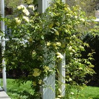 Rose with yellow flowers climbing up porch column.