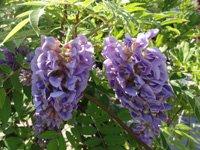 Purple wisteria flowers.