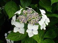 White Hydrangea anomala flowers.
