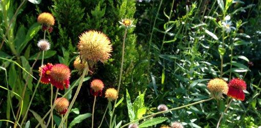 Perennial gaillardia flower blooms forming seed heads .