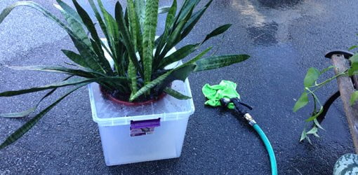Soak plants to kill any insects in the soil.