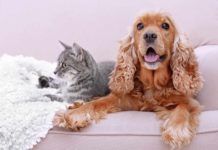 Dog and cat shedding fur on a living room couch