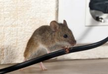 Mouse in house chewing through power cord