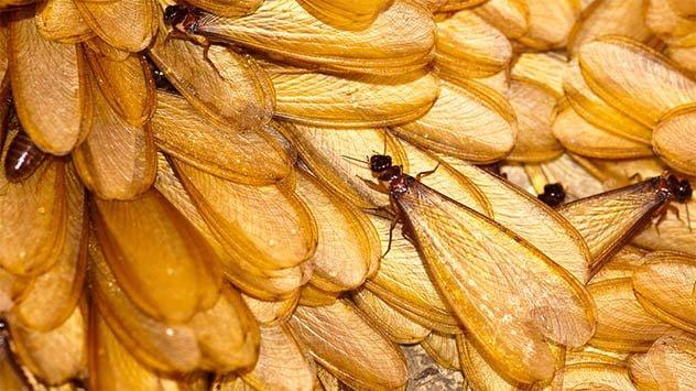 Swarm termites