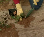 Planting ground cover in burlap to prevent erosion.