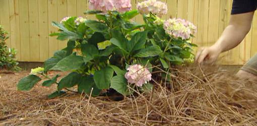 Mulching around hydrangea plant