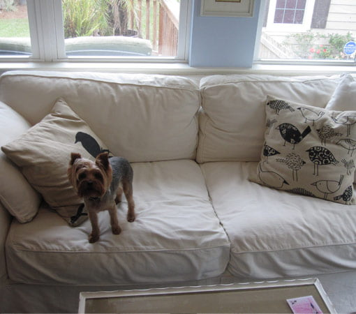 Dog sitting on white couch