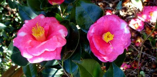 camellia shrub blooming.