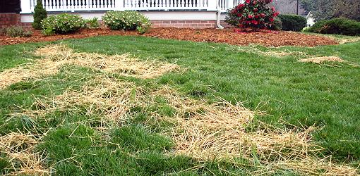 Green grass on lawn with straw on it.