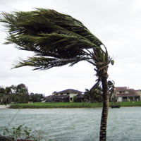 Palm tree blowing in the wind.