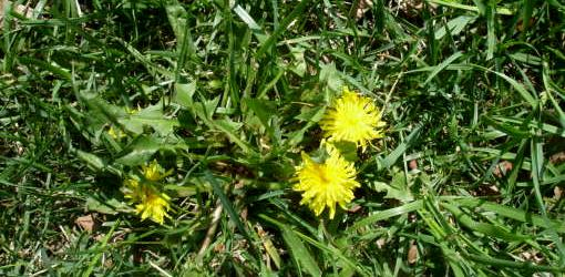 Dandelion plant with flower.