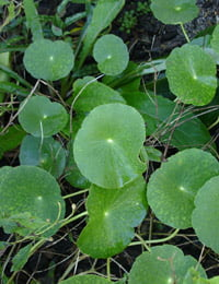 How To Control Dollarweed Pennywort In Your Lawn Today S