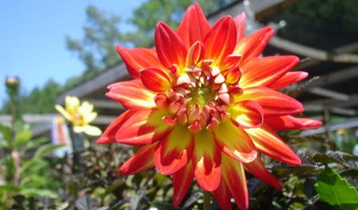 Variegated red and yellow dahlia bloom.