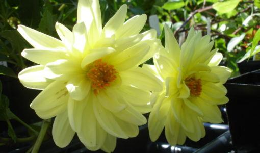 Pale yellow dahlia blooms.