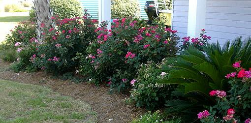 How To Grow Knock Out Roses Today S