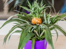 Indoor pineapple in purple pot