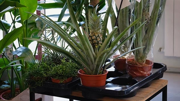 pineapple-plant Large Leaf Houseplants Pineapple on large leaf trees, large leaf hydrangeas, large leaf perennials, large leaf food, large leaf basil, large leaf ivy, large leaf ferns, large leaf recipes, large leaf shrubs, large leaf palms, large leaf vines, large leaf philodendron care, large leaf iris, large green leaf, large leaf lilies, large leaf planters, large leaf succulents, large split leaf philodendron, large leaf hibiscus, large leaf weeds,
