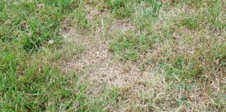 Brown spots on grass
