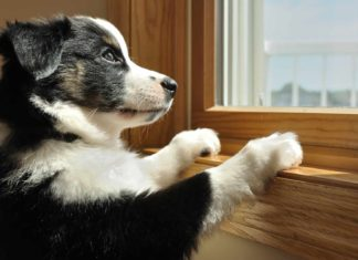 Australian shepherd puppy waiting by window