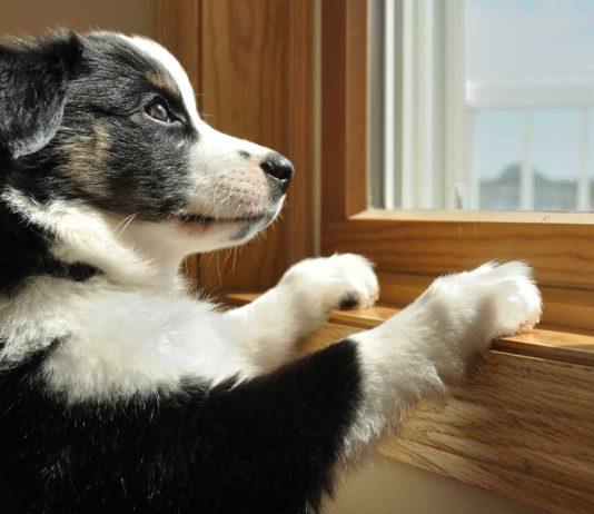 Australian shepherd puppy waiting by window