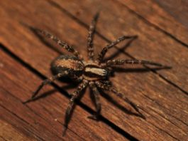 Spider crawling on wooden plank outside home