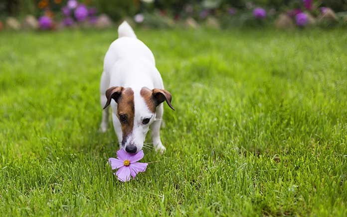 Jack Russell in the garden with a purple flower in its mouth
