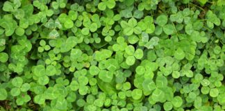 Clover fills up yard