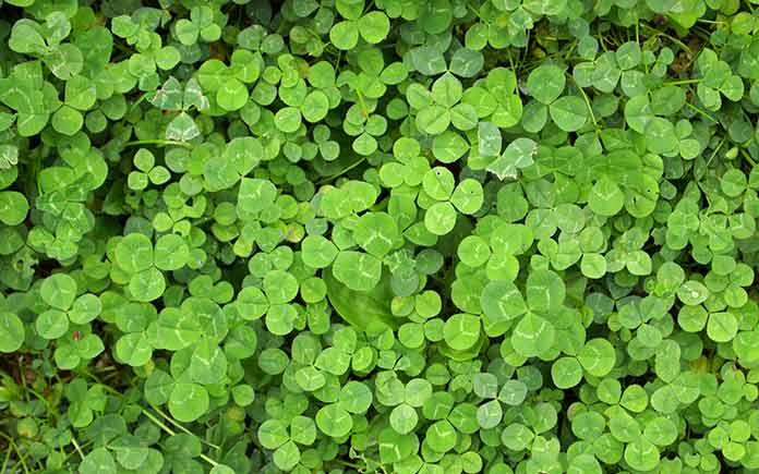 Yard full of clover