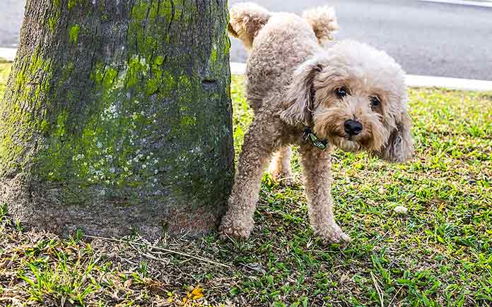 Poodle urinating on the grass in the front yard