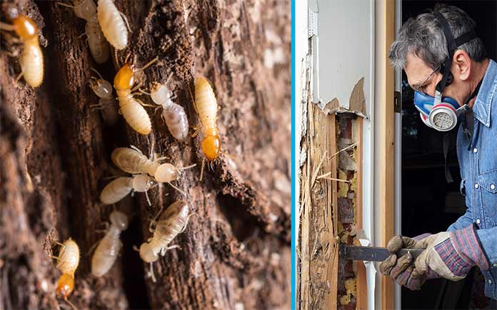Termite house damage, seen beside a pest control worker removing the termites