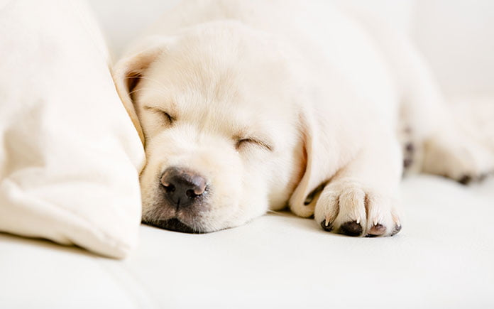 Puppy sleeping on sofa with slip cover