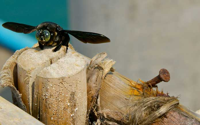 Carpenter bee resting on a piece of wood