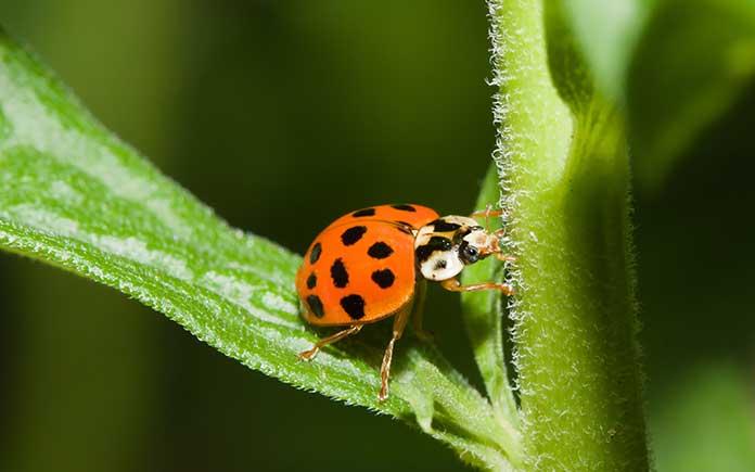 Lady Beetle sitting on a leaf