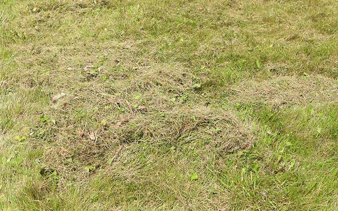 pelouse déshydratée avec beaucoup de chaume