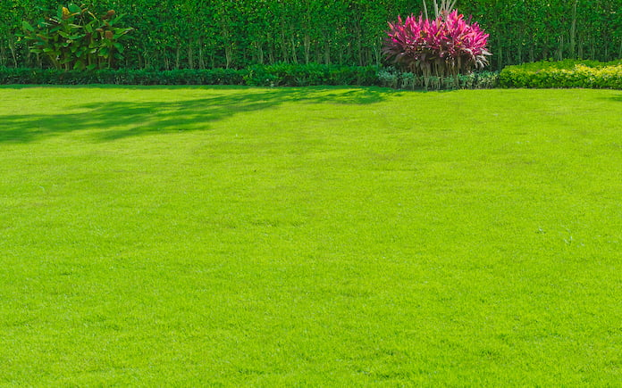 Nature background, green grass surface, view of grass concept, suitable for making green flooring, lawn for football practice, fresh green lawn on the back, with hedgerow and bright colored shrubs.