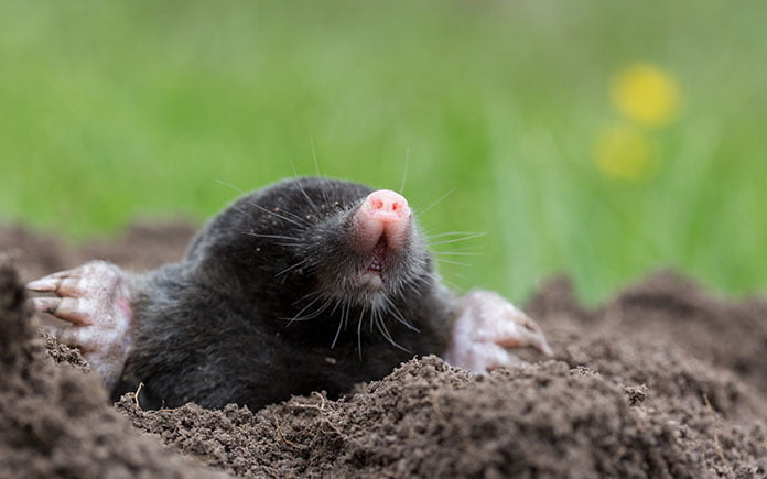 Mole digging out of a molehill in the backyard