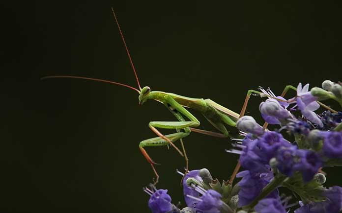 Praying mantis stalking prey in a garden
