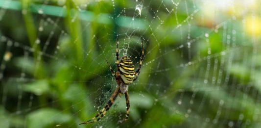 Spider in backyard web