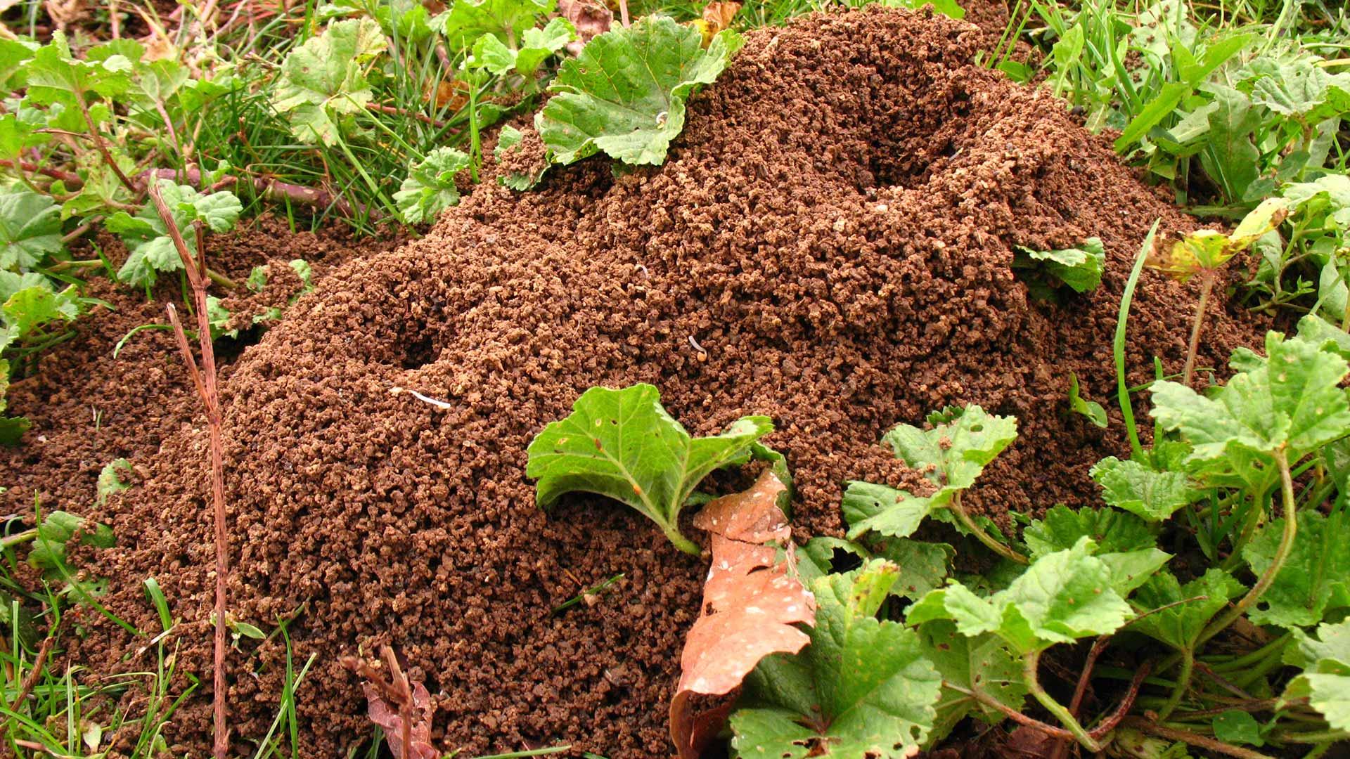 Large anthill