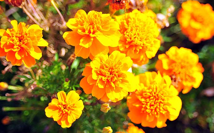 Marigolds, pictured during the summertime